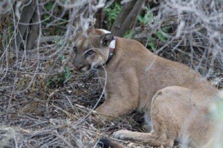Потрясающие котята пумы найдены в природном парке
