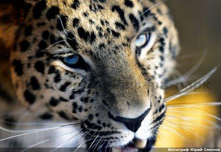 В Приморский Сафари-парк прилетел дальневосточный леопард