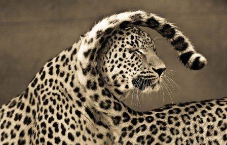 Портреты больших кошек
