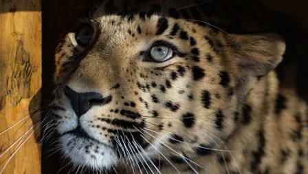 Запущена онлайн-трансляция жизни леопарда из Приморского сафари-парка