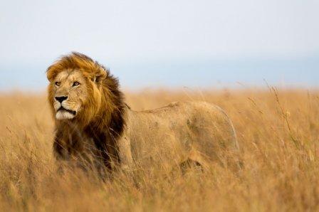 В Эфиопии нашли потерянную популяцию львов