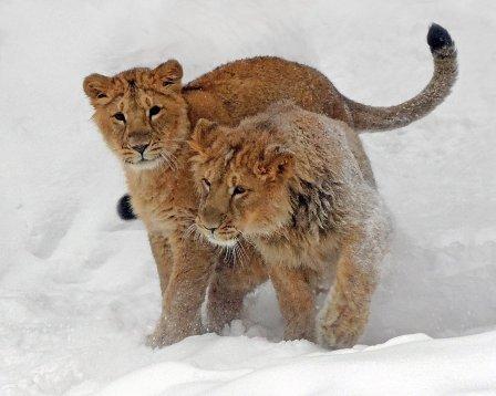 Московский зоопарк показал играющих в снегу львов
