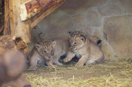 Впервые за 20 лет львята родились в Ленинградском зоопарке