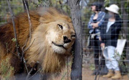 Измученных цирковых львов поместили в заповедник в Южной Африке