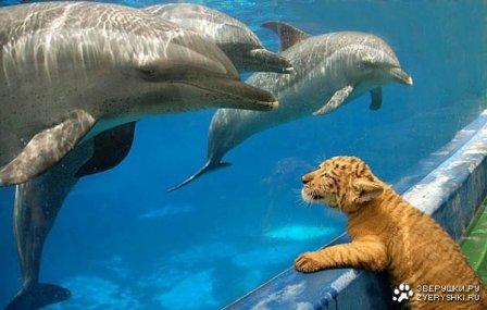 Лигрёнок и Дельфины (3 фото)