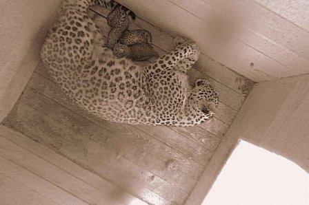 В Сочи в День России родились три детеныша редкого леопарда