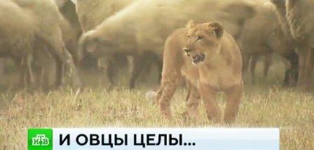В Дагестане появилась львица-пастух