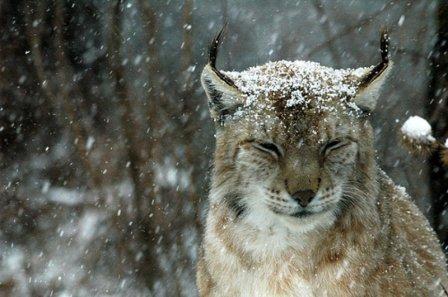 Красавица рысь