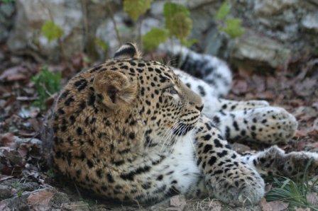 Трех переднеазиатских леопардов живым духом выпустят в Кавказский заповедник