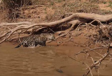 Ягуар атакует крокодила: видео