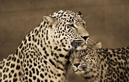 Нежность и хлопоты больших кошек