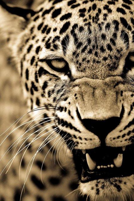 Нежность и попечение больших кошек