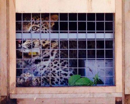 В Сочи выпустили в дикую природу трех леопардов