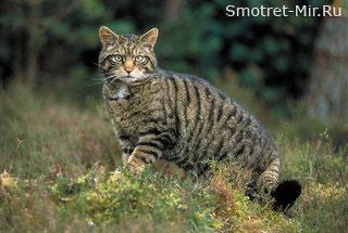 Дикий кот Шотландии