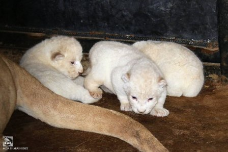 В зоопарке Тбилиси (Грузия) родились три белых львенка