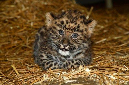 В зоопарке Иллинойса представили публике редкого дальневосточного леопарда
