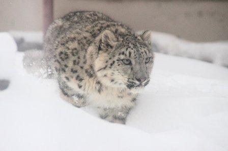 В Нижегородский зоопарк привезли самку снежного барса