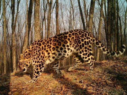 """В нацпарке """"Земля леопарда"""" внезапно нашлась самка леопарда, которая считалась погибшей"""