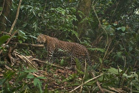 Четыре редчайших яванских леопарда попали на камеру фотоловушки